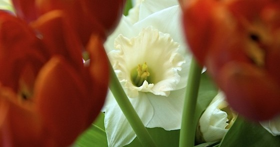 Tulips, Narcissus