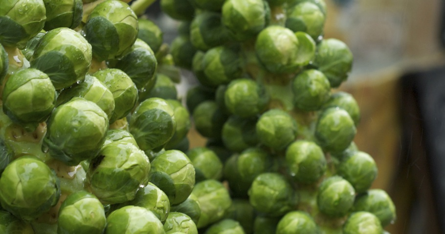 Brussels sprouts - on a stalk.